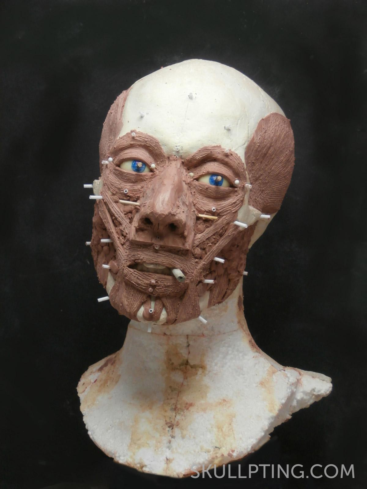 Kopie van de schedel met gezichtsspieren.