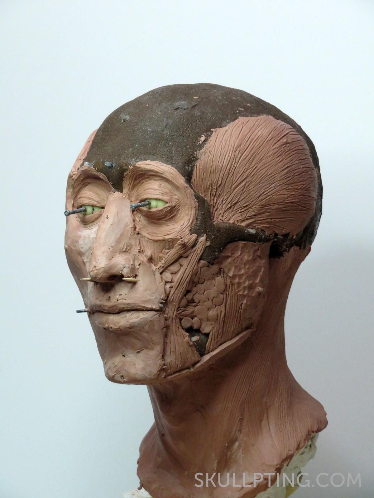 Kopie van de schedel met spieren.
